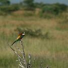 European Bee-eater by Pauline Adair