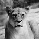 Lady Lioness by Emily McAuliffe
