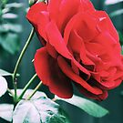 The Rose 1 by Emily McAuliffe