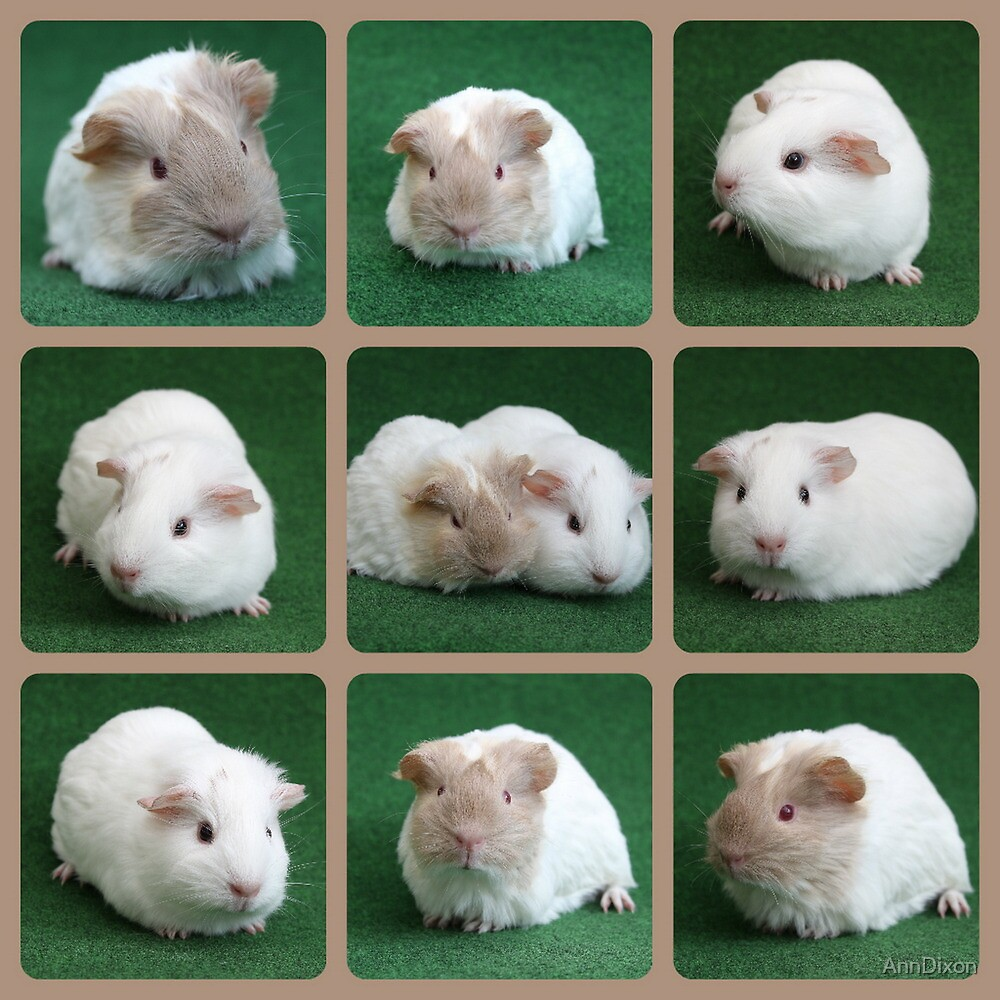 Guinea Pig Collage by AnnDixon