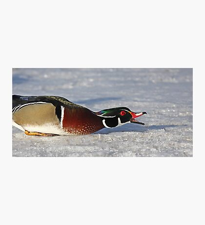Protecting his territory - Wood Duck Photographic Print
