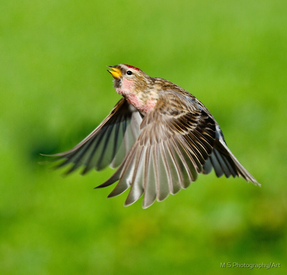 Lesser Redpoll  by M S Photography/Art
