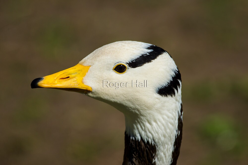 Bar Headed Goose by Roger Hall