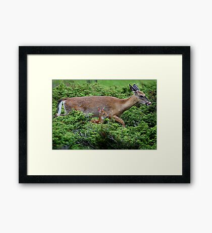 Mother and child reunion - White-tailed Deer Framed Print