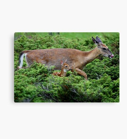 Mother and child reunion - White-tailed Deer Canvas Print