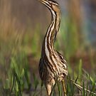 American Bittern Neck Stretch. by Daniel Cadieux