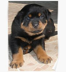 Rottweiler Puppy With Perplexed Facial Expression Poster