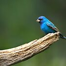 Little Garden Visitor - Indigo Bunting by Janice Carter