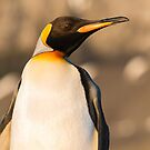 King Penguin at Gold Harbour by Mark Prior