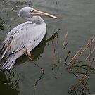Pelican by Profo Folia
