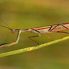 Praying Mantis by Jim Cumming