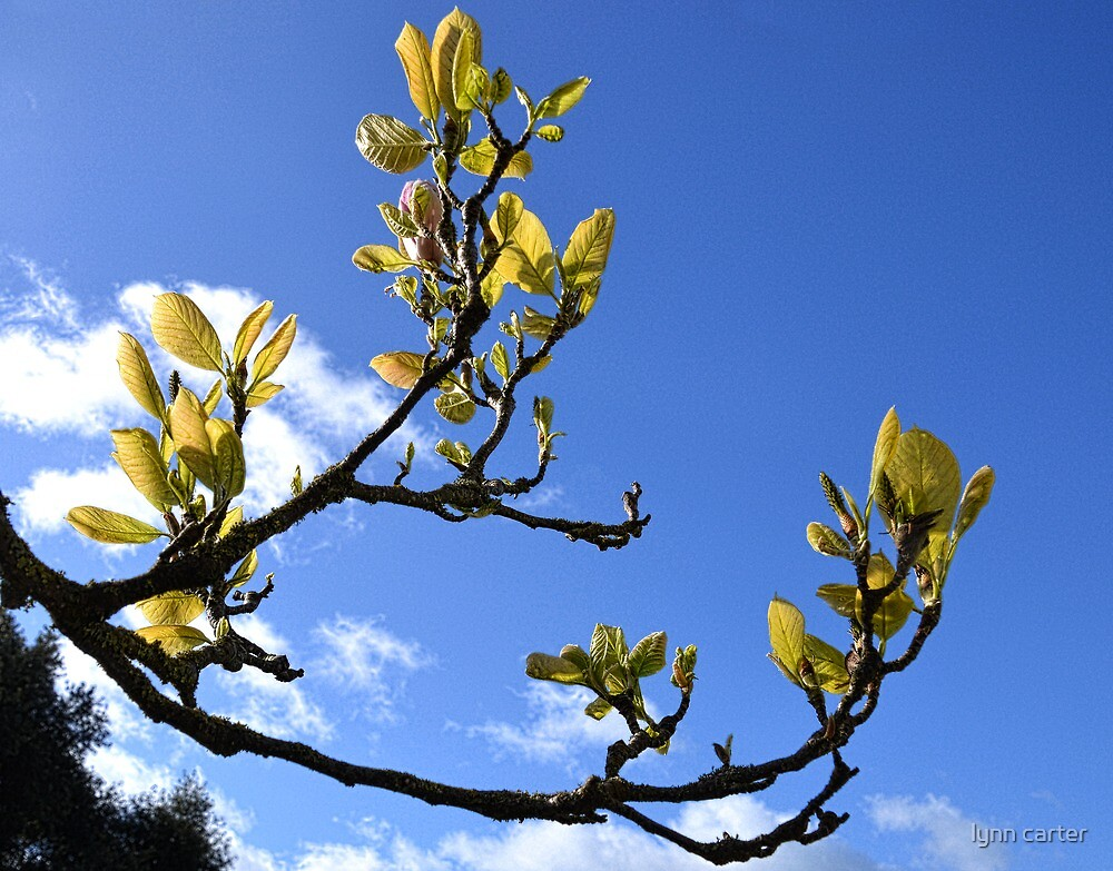 Magnolia Branch by lynn carter