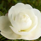 Camellia Early Pearly - the first bloom by Melissa Stevenson