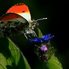 The Orange Tip by snapdecisions