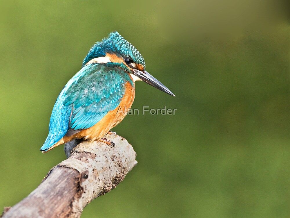 kingfisher 9 by Alan Forder