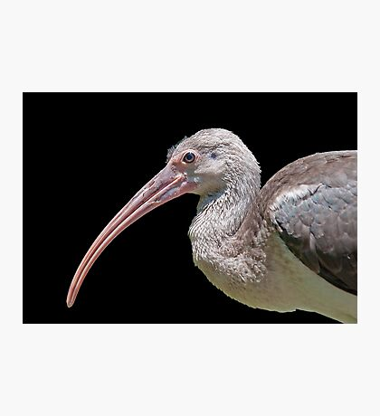Ibis Hanging Out Photographic Print