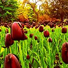 Tulips in the Park 2 by Chris Goodwin