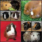 An Up-To-Date Collage Of My Guinea Pigs by Michaela1991