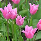 pink beauties by Fiona Gardner