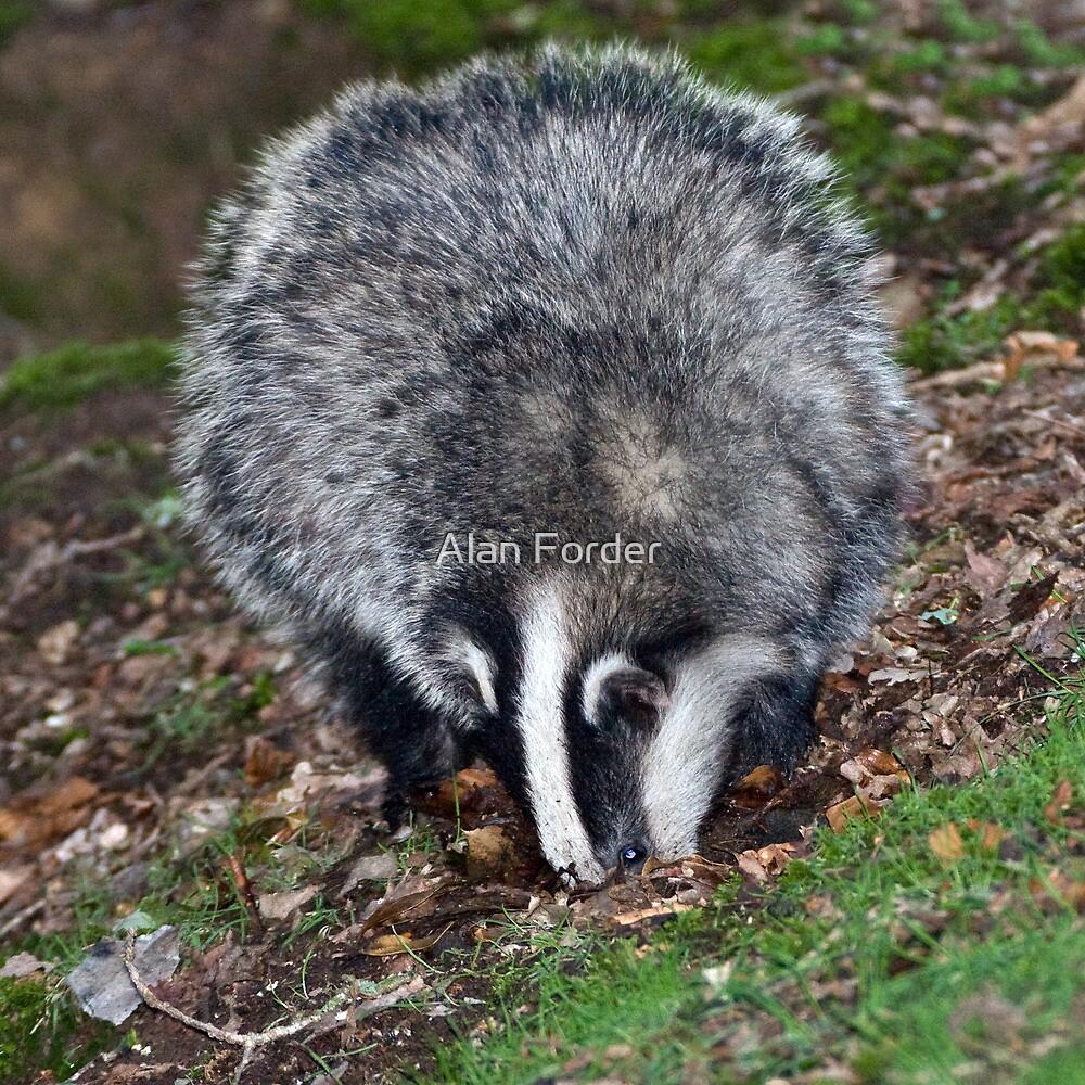 Badger 2 by Alan Forder