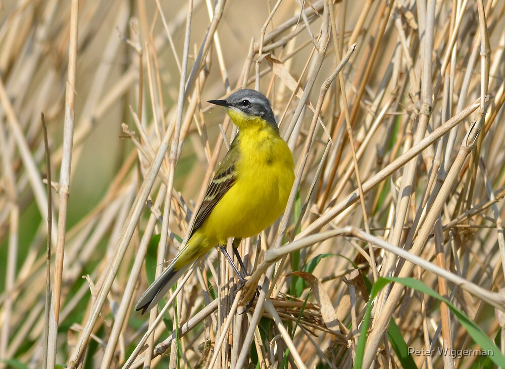 Blue headed wagtail by Peter Wiggerman