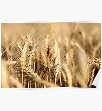 Ripe Wheat Poster
