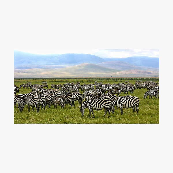 Zebras - Ngorongoro Crater, Tanzania, Africa Photographic Print