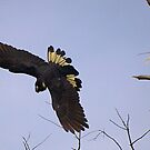 Yellow Tailed Black Cockatoo #2 - Gippsland by Bev Pascoe