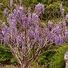 Wisteria by Penny Rinker