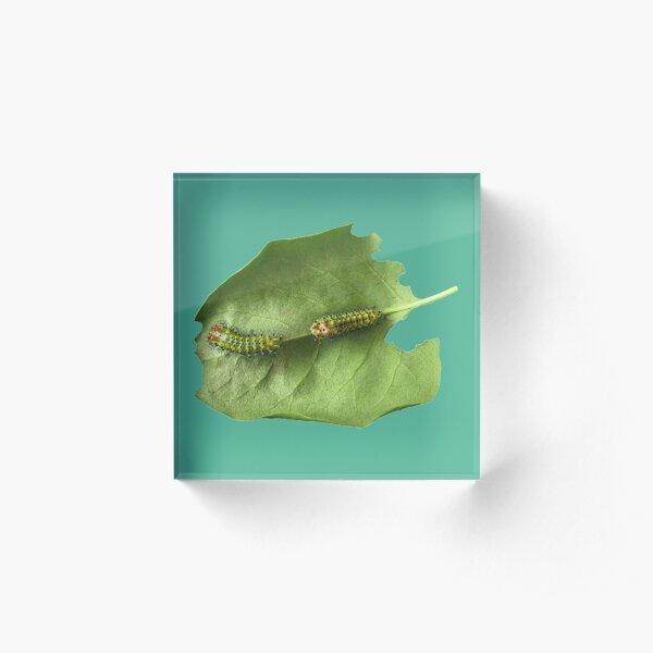 Cecropia Caterpillar Eating Leaf Acrylic Block