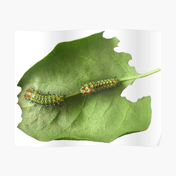 Cecropia Caterpillar Eating Leaf Poster