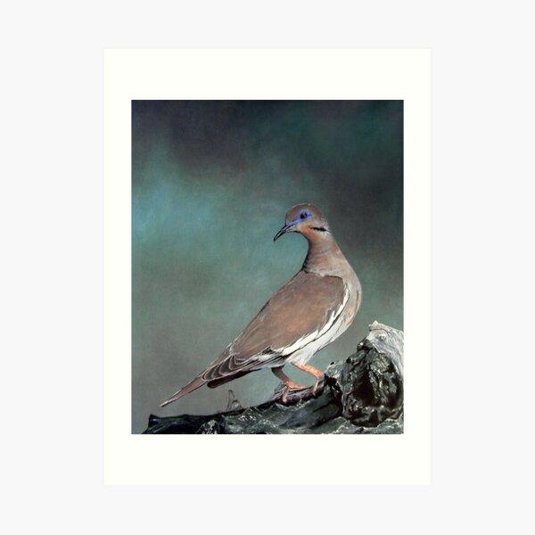 White Wing Dove Art Print