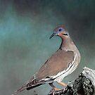 White Wing Dove by Sybilla Irwin