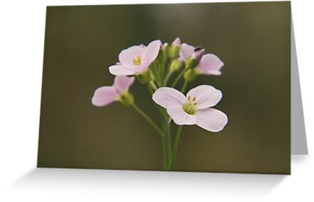 A Cuckoo flower in bloom at Downton Abbey by miradorpictures