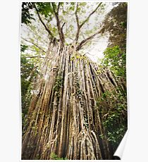 Curtain Fig Tree - Far North Queensland Poster