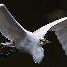 Great White Egret Flight Air Flow by Joe Jennelle