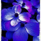 Blue velvet by Sazfab