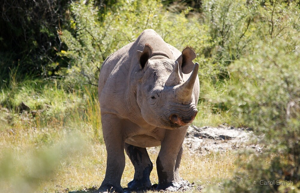 Black Rhino by cs-cookie