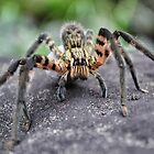 Lycosidae (Wolf Spider) by Pandrot