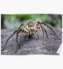 Lycosidae (Wolf Spider) Poster