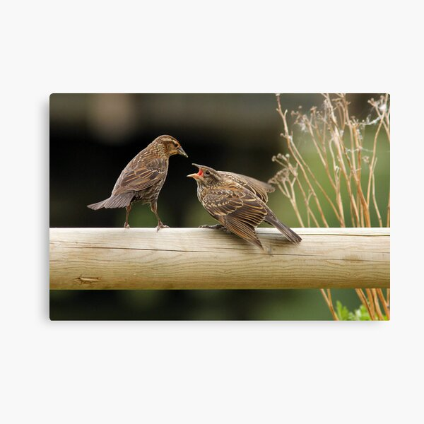 Lunch on a Fence Post Canvas Print