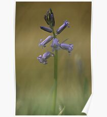 Breaking through, a bluebell at Downton Abbey Poster