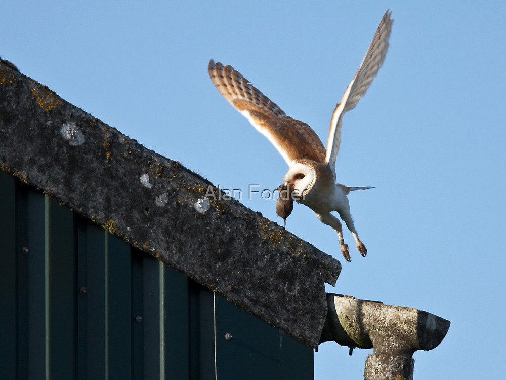 Barn Owl with Vole by Alan Forder