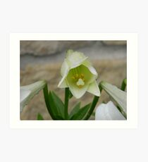 Cultivated Lily  Art Print