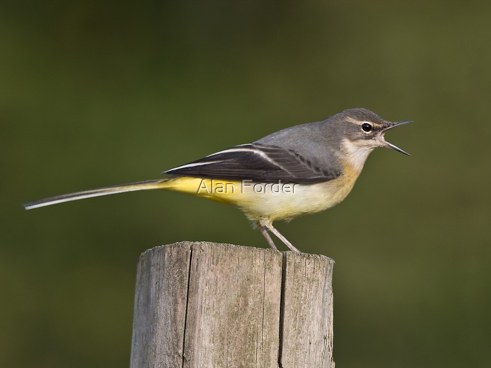 Grey Wagtail by Alan Forder