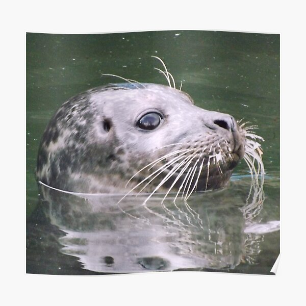 Whiskers of the seal  Poster