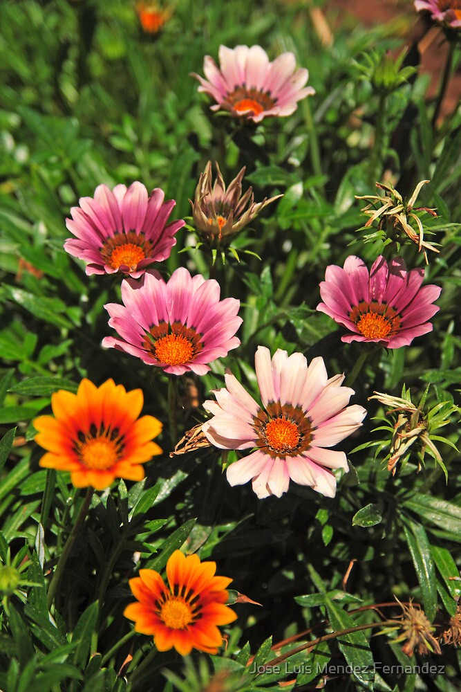 daisy family by Atman Victor