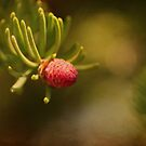 Spruce by lumiwa