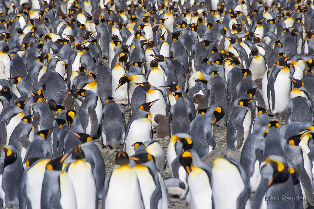 Penguins as far as the eye can see! (plus one chick...) by Mark Rawden