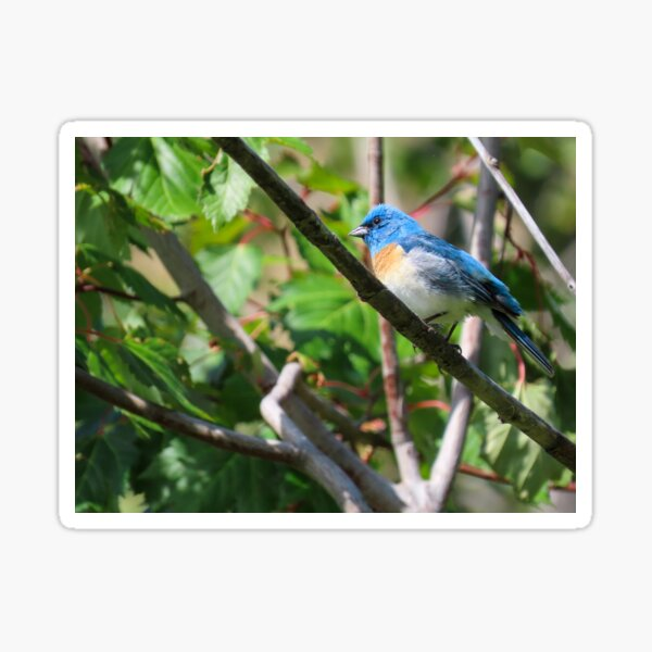 Lazuli Bunting  Sticker